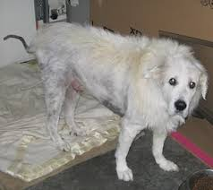 pyrenees dog conquers yeasty skin symptoms nzymes