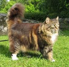Do Maine Coons Shed In The Summer by Norwegian Forest Cat Jpg