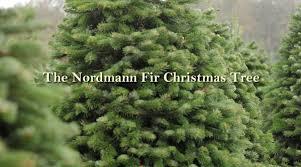 Balsam Christmas Trees Real by Nordmann Fir Christmas Tree From Green Valley Christmas Trees