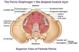 Hypertonic Pelvic Floor Muscles by Crossfit Your Pelvic Floor And During Workouts The