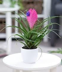 tillandsie 1 pflanze günstig kaufen mein