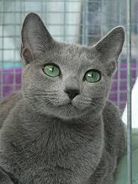 russian cat names russian blue