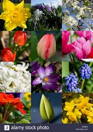 montage of daffodil flowers and tulips bulbs taken early