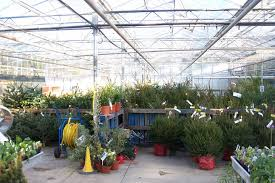 Seattle Christmas Tree Disposal 2015 by How To Choose A Living Tree To Replant After Christmas Inhabitat