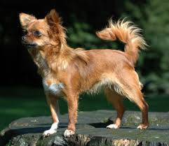 Do Long Haired Chiweenies Shed by Chihuahua Dog Wikipedia