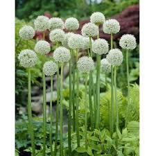 98 best allium images on allium garden plants and
