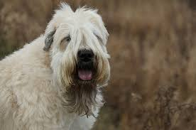 Do Wheaten Terrier Dogs Shed by 7 Things You Didn U0027t Know About The Wheaten Terrier U2013 Iheartdogs Com