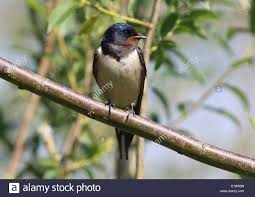 Detailed Close Up Of A European Barn Swallow (Hirundo Rustica ... European Barn Swallow Hirundo Rustica Stock Photo Royalty Free Swallow Idaho Birds Audubon Guide To North American Posing On A Fence Of Ukraine Birdwatching Alentejo Portugal Boerenzwaluw Barn Stock Image Image Young 67199779 Detailed Close Up Hinterland Whos Who Or The Uk And Ireland Male Swallows