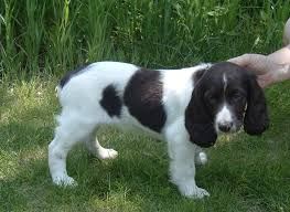 Springer Spaniel Shed Hunting by Russian Spaniel Puppies Rescue Pictures Information