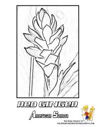American Samoa Red Ginger Tropical Flower Coloring At YesColoring
