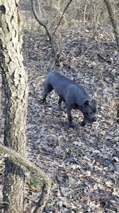 Cane Corso Italiano Shedding by 104 Best Cane Corso Images On Pinterest Cane Corso Canes And