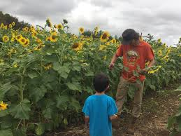 Waimanalo Pumpkin Patch Oahu by Locaflor Sunflower Festival Waimanalo Okazoo