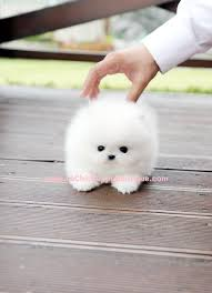 Miniature Dog Breeds That Dont Shed by Micro Teacup Maltese Puppies I Don U0027t Generally Like Small Dogs