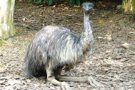 A guide to the world s biggest flightless birds