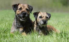 border terrier grooming everything you need to know diy dog