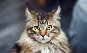 forest cat vs maine coon maine coon cat vs forest cat personality ourfriends4ever