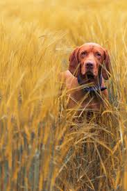 Do Hungarian Wirehaired Vizslas Shed by 219 Best Hungarian Animals Images On Pinterest Hungarian Vizsla