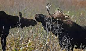 Bull Moose Shedding Antlers by 11 Facts About Antlers U2013 Fish And Wildlife Service News U2013 Medium