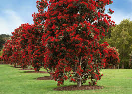 Christmas Tree Species Nz by Plant Know How Pohutukawa U0026 Rata Make It A Red Christmas With