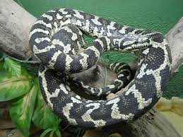 Coastal Carpet Python Facts by Zebra Carpet Python Uk Carpet Vidalondon