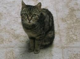 comment enlever l odeur d urine de chat astuces bonnes idées