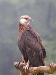 The Madagascar Fish Eagle Is One Of Rarest Species In World