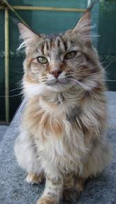 Do Maine Coons Shed In The Summer by Do Maine Coons Shed In The Summer 28 Images Maine Coon Maine