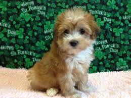 sweet non shedding 8 week old yorkiepoo puppies lovable furry