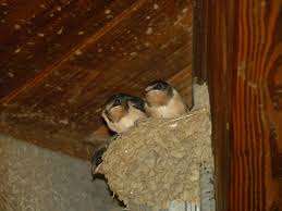 Barn Swallow Nest 2 | The Nature Of Delaware Barn Swallow Hirundo Rustica Fledgling In Nest Stock Photo Chicks Almost Ready To Leave The The Life Of Filebarn Fledglings Nestling Siblings Near Its Three Young Hatchling Nests Seasons Flow Bird Nests A Website On Birds World Nestlings Nestwatch Sauvie Island 30 May 2013 John Rakestraw Words Birds Cservation And Research British Columbia