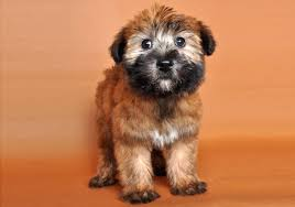 why wheaten terriers are the best family dog in the world pethelpful