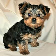 House Dogs That Dont Shed by Cute Male Puppy Names Q Z Small Breed Dogs Learning And Dog