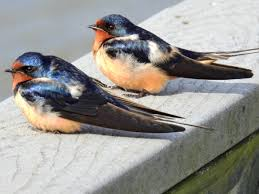 Barn Swallow – Renegade Expressions European Barn Swallow Hirundo Rustica Stock Photo Royalty Free Swallow Idaho Birds Audubon Guide To North American Posing On A Fence Of Ukraine Birdwatching Alentejo Portugal Boerenzwaluw Barn Stock Image Image Young 67199779 Detailed Close Up Hinterland Whos Who Or The Uk And Ireland Male Swallows