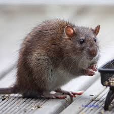 se debarrasser des souris dans une maison deratisation