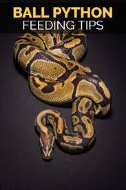 13 best mack images on pinterest pet snake reptiles and