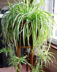 Best Plants For Bathroom No Light by 19 Best Plants For Bathroom No Light Plantas Para Decorar
