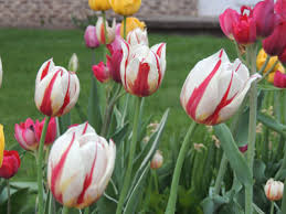 planting tulip bulbs how to grow tulips growing tulips