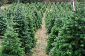 Ticks On Christmas Trees by Garden Plot Christmas Lavender Trees And Plant Thoughts Wtop
