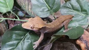 Crested Gecko Shedding Behavior by The Reptile Zoo Bits U0026 Bites All Posts By Photobooth Page 2