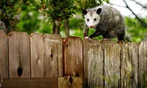 How To Get Rid Of Opossums | Terminix All About Opossums Wildlife Rescue And Rehabilitation Easy Ways To Get Rid Of Possums Wikihow Animals Articles Gardening Know How 4 Deter From Your Garden Possum Hashtag On Twitter Removal Living In Sydney Opossum Removal Services South Florida Nebraska Rehab Inc Help Nuisance Repel Gel Barrier Sealant For Squirrels And Raccoons To Of Terminix