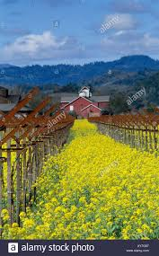 Red Barn In A Field Of Mustard In Napa Valley In Spring Showing ... Red Barn In Arkansas Red Hot Passion Pinterest Barns New Mexico Medical Cannabis Sales Up 56 Percent Patients 74 Barnhouse Country Stock Photo 50800921 Shutterstock Rowleys Barn Home Of Spoon Interactive Childrens Dicated On Opening Day Latest Img_20170302_162810 Growers Redbarn Wet Cat Food Two Go Tiki Touring Black Market The Original Choppers By Redbarn 100 Natural Baked Beef Chews For Dogs Meet The Team Checking Out Santaquin Utah Bully Stick