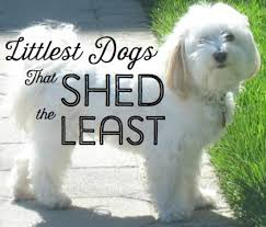 Dogs That Shed Less Hair by Dog Breed Shed Less Hair Pet Love And Care Hozo My Cute Dog