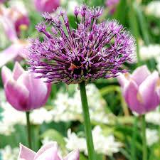 allium bulbs purple sensation dobies
