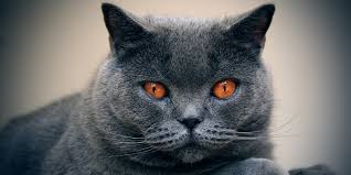 shorthair cat price chartreux information characteristics facts names