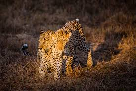 cats mating facts sabi sabi reserve the secrets the