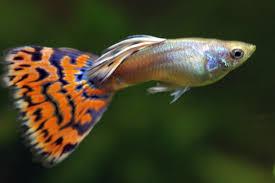 poisson eau douce aquarium tropical poissons