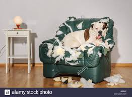 Boxer Dog Destroyed A Leather Armchair. Dog Alone At Home ... Modern Luxury Tub Chair Armchair Pu Faux Leather With Chrome Leg Ding Room New Amazoncom Nalahome Wall Art For Living Decor Interior Of Dirty Damaged Fniture We Should Have Received Two Of The Chair On Left One Us 707 Retro Living Room Fashion Round Table Creative Side Sets Tables Sofa Small Coffee Pf92199 Aliexpress Sofa Stock Photo Edit Now 148633757 Young Husband Wife Blue Bucket Collecting Will Sheepskins Be In Style Forever Architectural Digest Antique Stylish Poster Photowall Abandoned Under Staircase Download Image
