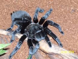 Do Tarantulas Molt Upside Down by Complete Change Of Clothes Archive The B T S Tarantula