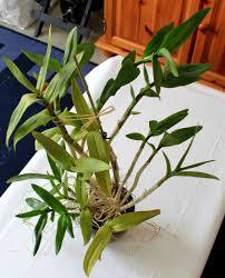 les orchidées de micha la culture des orchidées