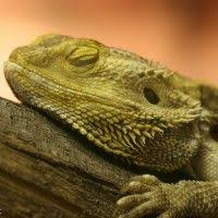 20 different types of bearded dragons with colors species and