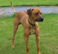 Rhodesian Ridgeback Shedding A Lot by All Breeds Dogs